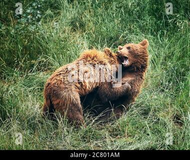 brown bear cubs, fighting in the tall green grass - Stock Photo