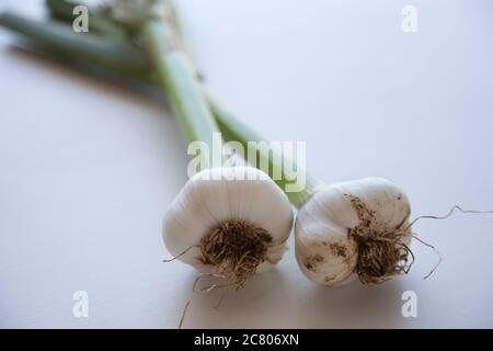 Two fresh picked garlic bulbs lying on a white ground - Stock Photo