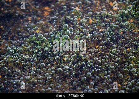 Air Bubbles in the water of lake, natural abstract, nature background.Green and brown.