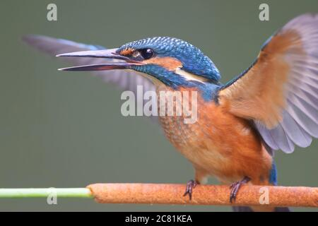 A young Common Kingfisher (Alcedo atthis) by the river on a beautiful branch, looking into the water, waiting for a fish.