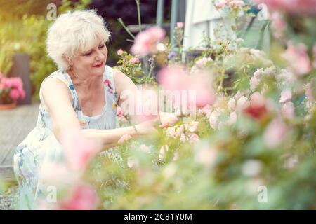 Senior woman gardening cutting her roses - Stock Photo