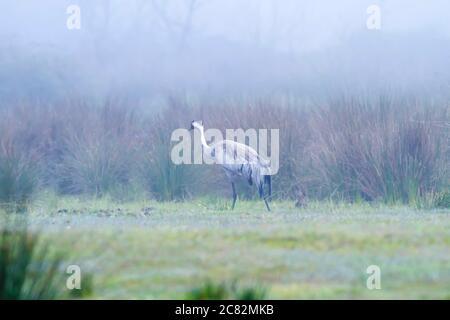 Crane. Nature habitat background. Bird: Common Crane. Grus grus. - Stock Photo