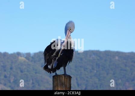 Australian Pelican (Pelecanus conspicillatus) preening on Camden Haven River at North Haven NSW - Stock Photo