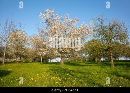 Blossom cherry trees, Lanstrop, Dortmund, Ruhr area, North Rhine-Westphalia, Germany, Europe
