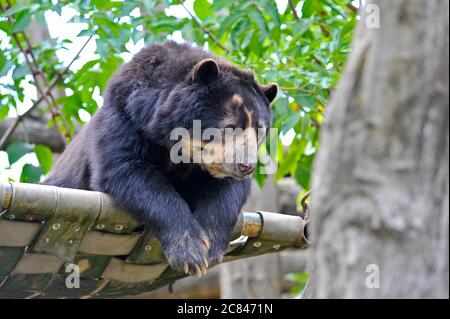 Spectacled bear - Stock Photo