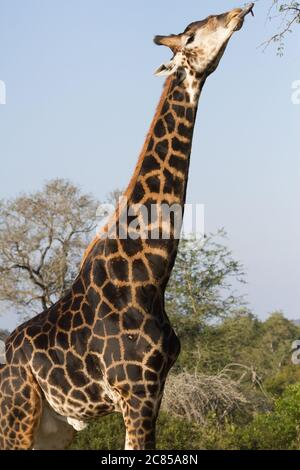 Dark colored male giraffe (Giraffa camelopardalis) sticking tongue out to eat tree leaves in Kruger National Park South Africa - Stock Photo