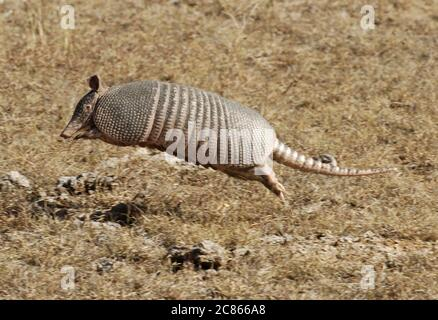 Spicewood, TX December 23, 2005: The nine-banded armadillo runs through dried brush at Reimer's Ranch County Park in the Texas Hill Country west of Austin.  ©Bob Daemmrich - Stock Photo