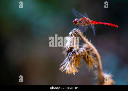 Crocothemis erythraea is a species of dragonfly in the family Libellulidae. European Scarlet dragonfly - Stock Photo
