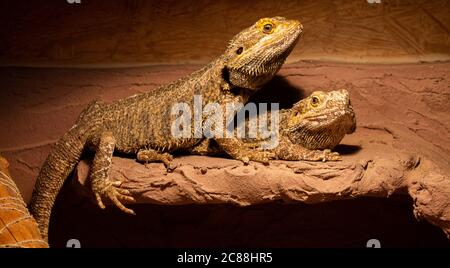 Two bearded dragons sitting in their terrarium. They watch the photographer. - Stock Photo