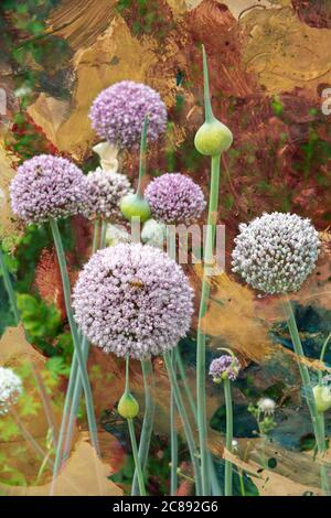 The architectural Allium plant in full flower, which is a member of the onion family - Stock Photo