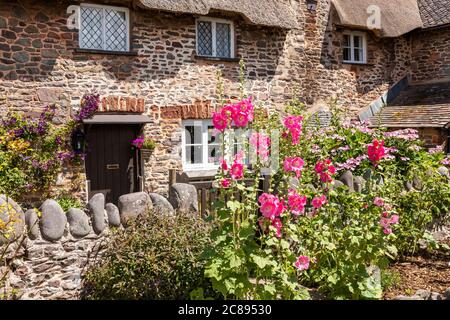 Hollyhocks flowering by the gate of a traditional thatched cottage on Exmoor National Park in the village of Bossington, Somerset UK