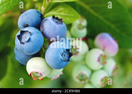 ripening blueberry berries growing on bush, Vaccinium corymbosum plant - Stock Photo