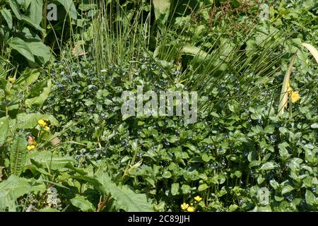 European speedwell or brooklime (Veronica beccubunga) with other marginal aquatic plants in a natural field spring, Berkshire, May - Stock Photo