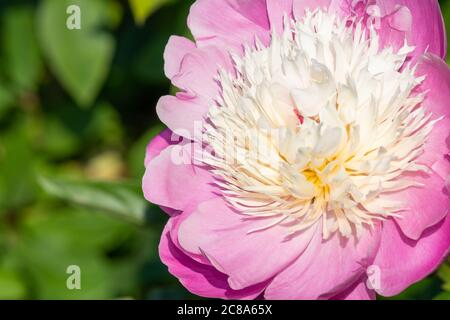 Close up of a common garden peony (paeonia lactiflora) in bloom