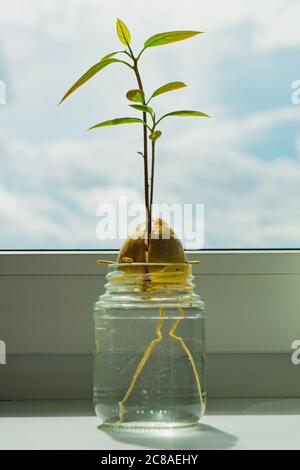 An avocado sapling growing indoors from a seed, being held in a glass of water. - Stock Photo