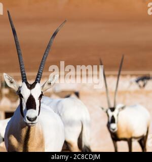 Large antelopes with spectacular horns, Gemsbok, Oryx gazella, in Oman desert