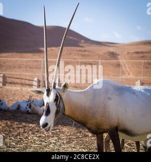 Large antelopes with spectacular horns, Gemsbok, Oryx gazella, being bred in captivity in Oman desert.