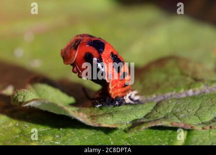 Asian ladybeetle (Harmonia axyridis) hatching on leaf - Stock Photo