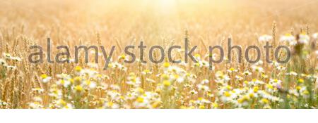 Golden wheat field, defocused chamomile in front of wheat, beautiful landscape in sunset - Stock Photo