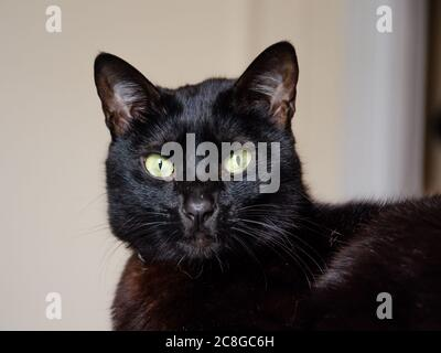 close up on black cat face looking to camera