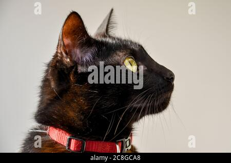 close up on black cat face looking up using a red collar seen from the side