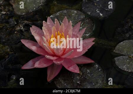 A pink water lily with yellow stamens, on a lily pad.