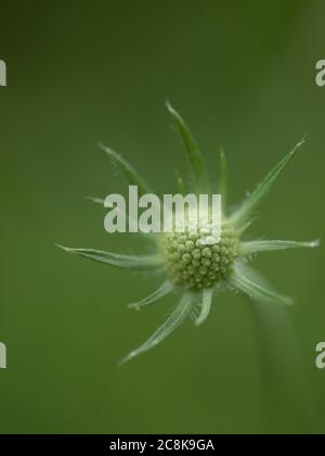 A detailed macro close up view of a Scabious, Scabiosa caucasica flower head against a blurred background using selective focus. - Stock Photo