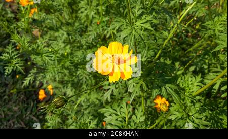 Beautiful marigold Flower. Close up of Colorful Pot Marigold flower - Stock Photo