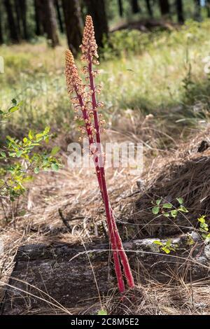 Woodland Pinedrops, Albany Beechdrops, or Giant Bird's Nest (Pterospora andromedea) - Stock Photo