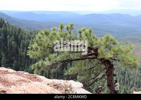 A single Ponderosa Pine Tree standing alone on the edge of the Mogollon Rim in Northern Arizona.