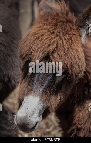 Donkey foal, head portrait. Donkey face with fur. Closeup of a face of a furry donkey on a farm - Stock Photo