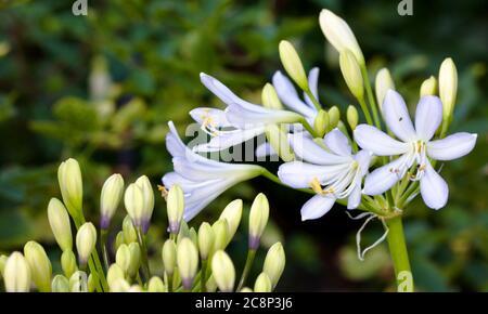 Agapanthus africanus 'Twister' - Stock Photo