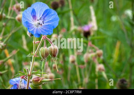 A summer close-up image of the Meadow Crane's bill, Geranium pratense, also know as Medow Geranium in a meadow in Yorkshire, England. 24 July 2020 - Stock Photo