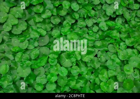 A small lily pad like plant with bright green heart shaped leaves, producing small pearly white flowers. Use this image of green  background.