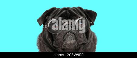 cute sad Pug dog wearing eyeglasses, looking at camera on blue background - Stock Photo