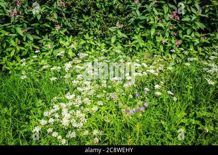 Roadside Cranes-bill, Hedge-parsley and Himalayan balsam, Vale of York, Yorkshire, UK