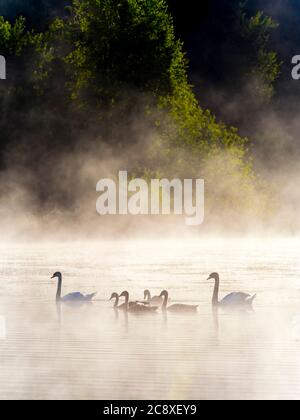 Swans family in sunrise time on lake Mrzla vodica in Croatia Europe - Stock Photo