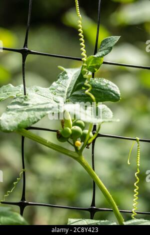 Tenacity and determination, plant tendrils clinging to wire fence - Stock Photo