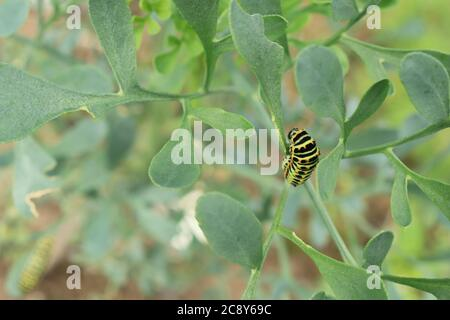 Caterpillar of common yellow swallowtail / Old World swallowtail butterfly (Papilio machaon) feeding on plant