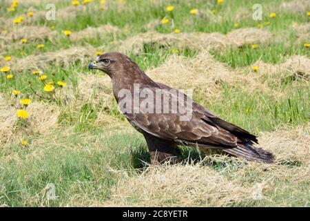 Common buzzard, Mäusebussard, Buteo buteo, egerészölyv - Stock Photo
