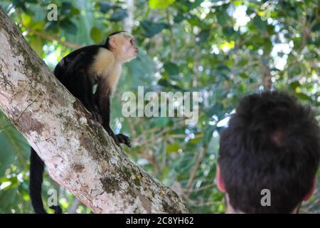 Capuchin Monkey close up in Costa Rica, Central America - Stock Photo