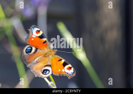 a colourful peacock butterfly sucks the nectar of a lavender blossom