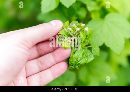 leaves of currant. Currant branch with wrinkled leaves affected by black aphid. Aphids. - Stock Photo