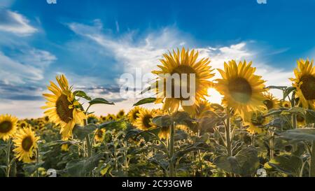 Summer sunset over common sunflower blooms under blue sky. Helianthus annuus. Artistic close-up of sunlit flowering field. Shining sun betwen flowers. - Stock Photo