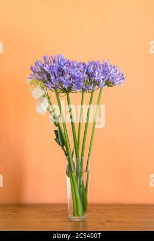 Blue agapanthus bouquet in vase on orange Stock Photo