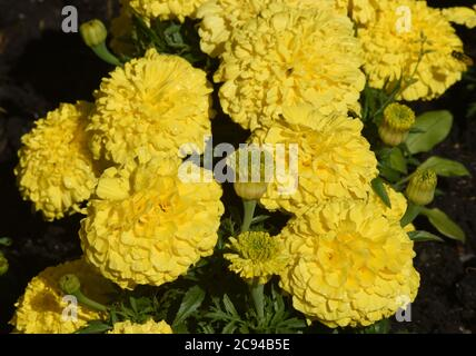 Yellow French Marigolds (tagetes patula) bloom in the summer sun in Victoria, British Columbia, Canada on Vancouver Island. - Stock Photo