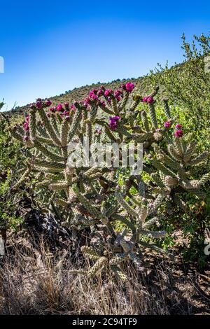 Cylindropuntia acanthocarpa, commonly referred to as staghorn, or buckhorn, cholla, is a cholla native to the Mojave, Sonoran, and Colorado Deserts of - Stock Photo