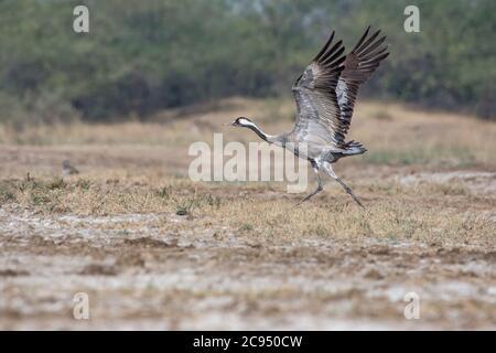 Common crane (Grus grus) taking off. - Stock Photo
