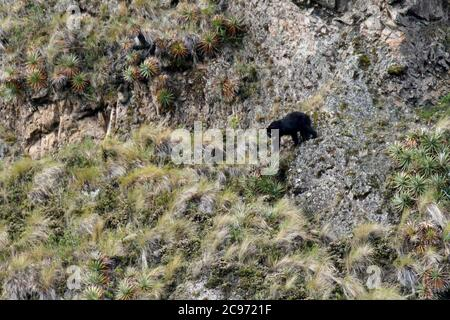 Spectacled bear, Andean bear, Andean short-faced bear (Tremarctos ornatus), climbing at a steep slope, side view, Ecuador, Andes - Stock Photo