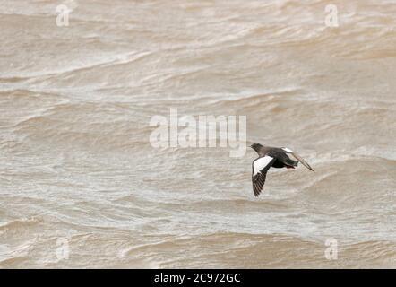 Arctic Black Guillemot (Cepphus grylle mandtii, Cepphus mandtii), Summer plumaged Arctic Black Guillemot in flight over the sea, Norway, Svalbard - Stock Photo